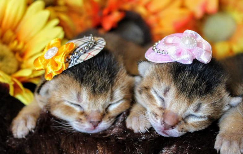 Abyssinian Cat Breeders In Texas